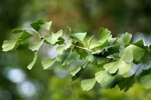 Reviews Of The Exfoliators Made From Gingko Biloba Leaf Plant Extract